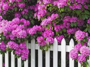 66379066-1275818119_rhododendrons